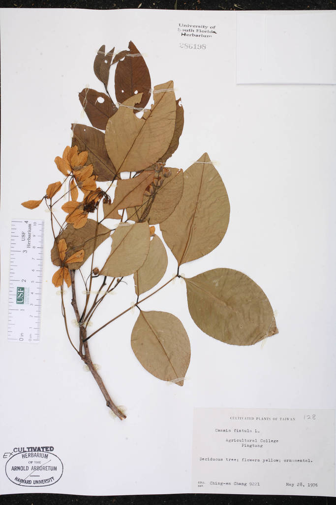 Why Does A Fistula form Awesome Cassia Fistula Species Page isb atlas Of Florida Plants