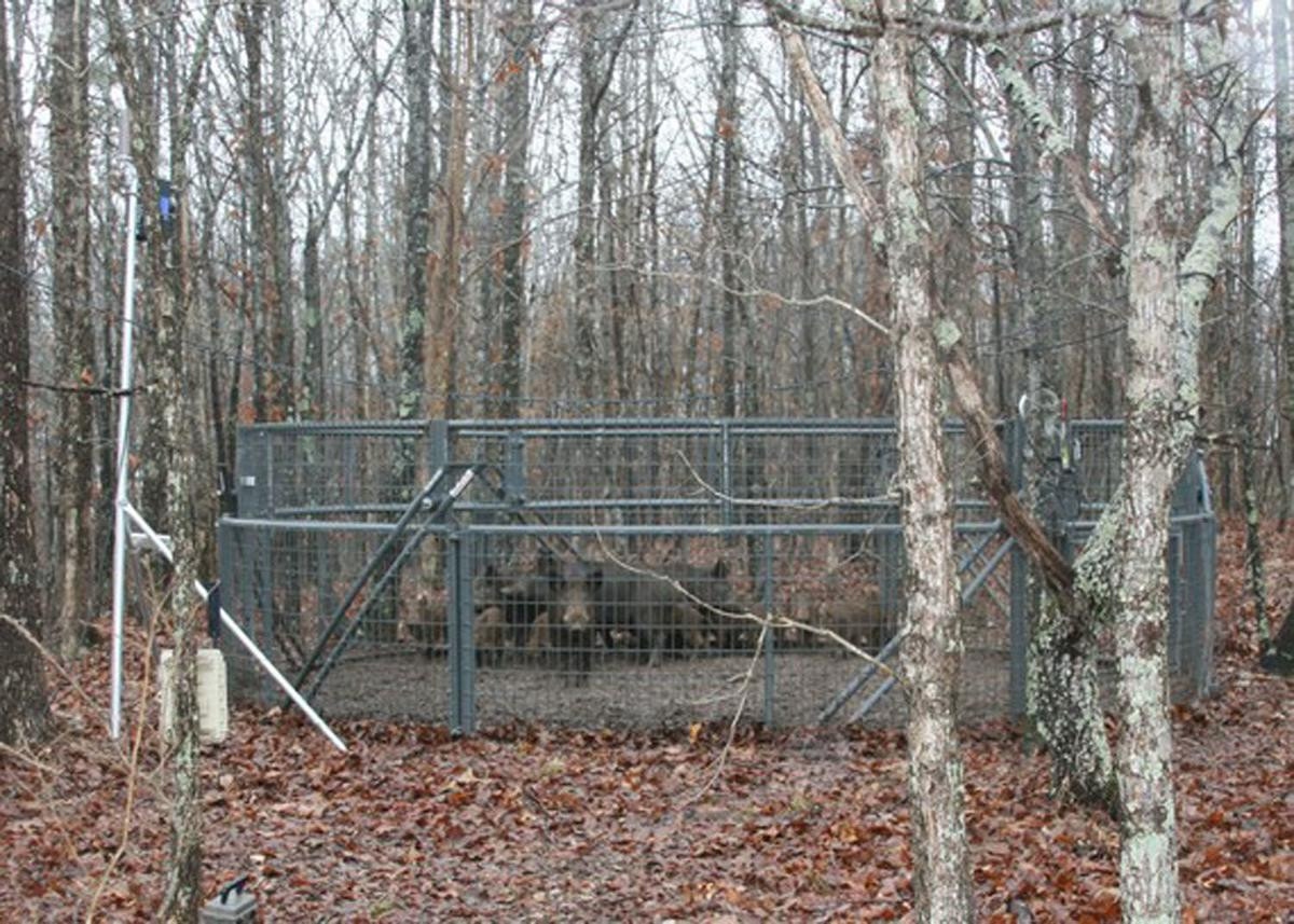 Missouri Department Of Conservation Awesome Landowners What to Expect when Trapping Feral Hogs