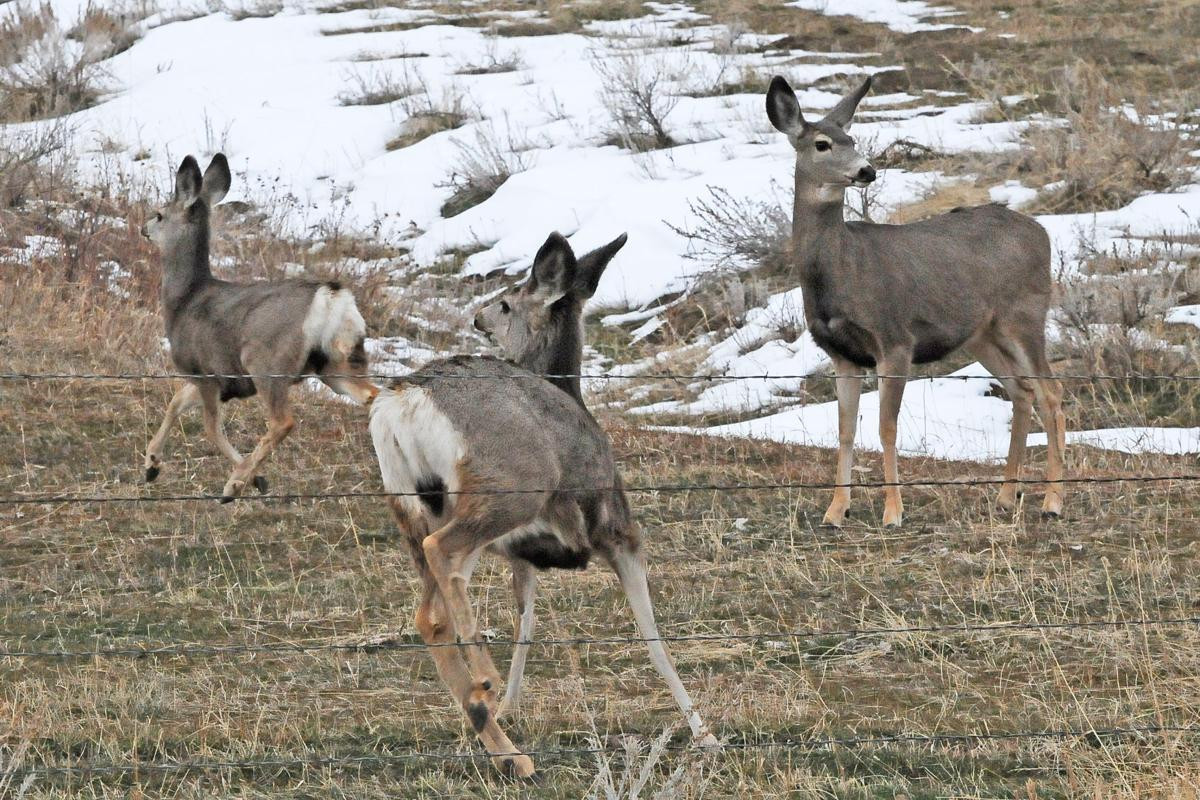 Montana Department Of Fish, Wildlife and Parks New Deer Tags for Montana S 2nd Chronic Wasting Disease Hunt