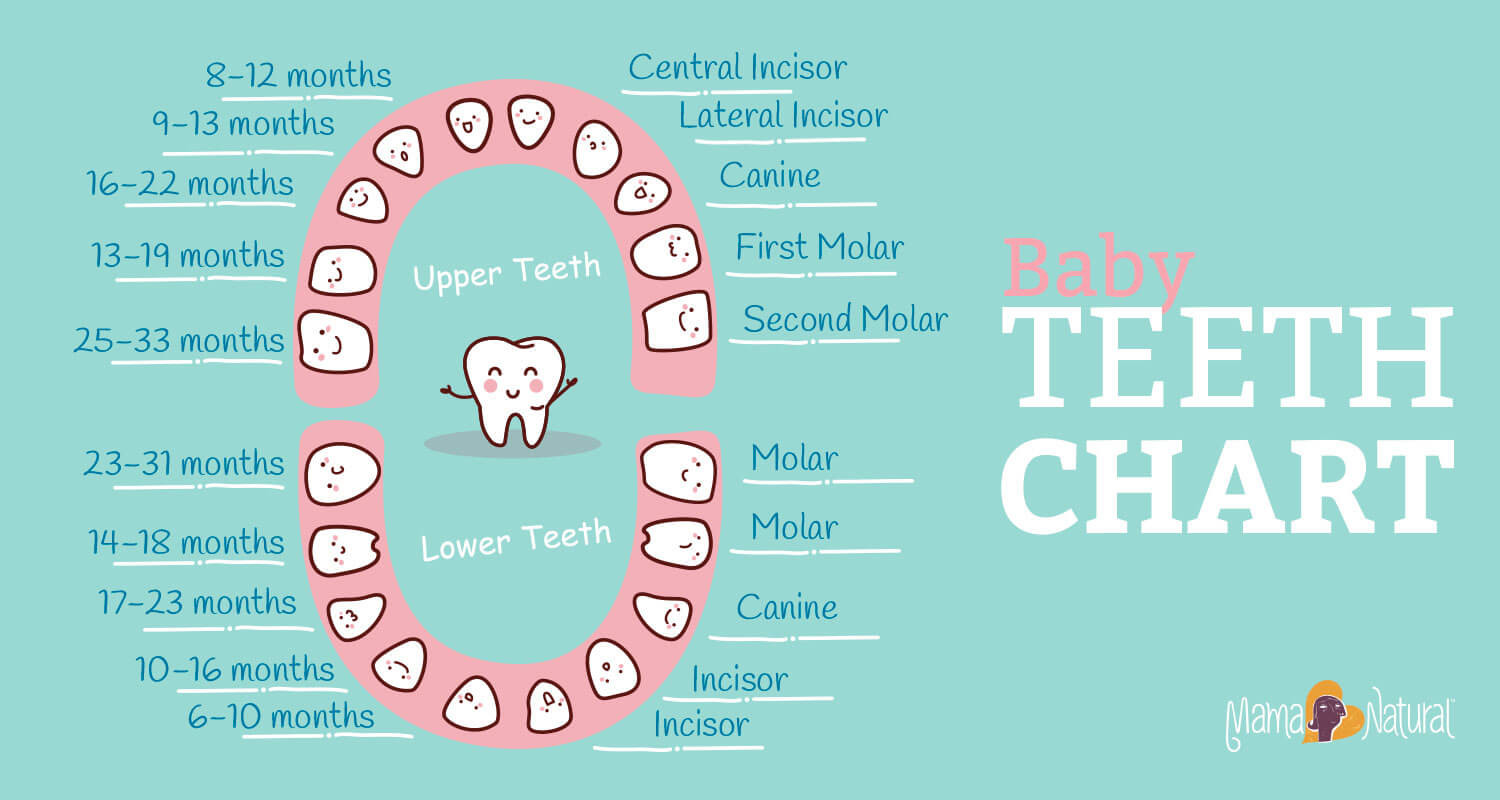 Tooth Loss Chart Great Baby Teething Chart What order Do they E In